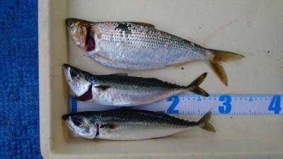 <p>津田様 沖の北 サビキ釣り サバGET!!</p> <p>サバの姿が減ってしまいましたね(泣)また戻ってくればいいですが・・</p> <p>いつも釣果情報ありがとうございます</p>