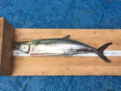 <p>仲座様 沖の北 ショアジギ サゴシ50cmGET!</p> <p>ブリに続きサゴシの釣果も出ました!青物がいい感じですね('ω')</p>