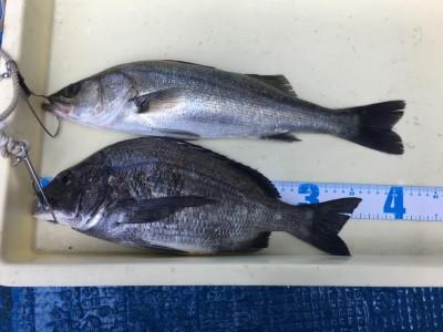 <p>濱本様 沖の北 エビ撒き釣り ハネ41.5cm チヌ36.3cm!</p> <p>沖の北は大雨の影響による濁りはさほど無く、アタリも多かったようです。</p> <p>釣果写真へのご協力、ありがとうございます。ハネ・チヌダービーにもエントリー致しました!</p>