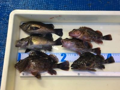 <p>17日の釣果です。 スタッフ谷口 15時から沖の北でエビ撒き釣り 良型メバル&ガシラ</p>