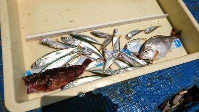 <p>金子様 栄岩様 沖の北 サビキ釣りで豆アジ・ガシラ・小サバ サビキでいろいろ釣れてます♪</p>