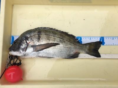 <p>葛平様 旧一文字 フカセ釣り チヌ40.5cm</p> <p>底を少し切るようタナをこまめに調整して釣果に結び付けられてます。釣果写真へのご協力、ありがとうございます。チヌダービーにもエントリー致します。</p>