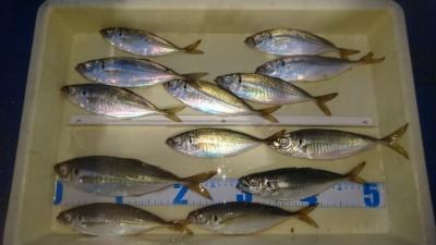 <p>山根様 沖の北 サビキ釣り 26cmアジ筆頭に中アジ多数!</p> <p>皆様気になるアジの釣果ですが、昨日までとはいかないものの、安定して釣れています。18:00頃から時合があったとの事です。このサイズのアジ・・本当に美味しいんですよね(^^♪味のアジ!おめでとうございます</p>