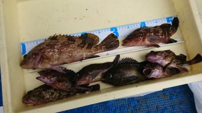 <p>田中様 沖の北 エビ撒き釣り アコウ31cm ほかにメバル・ガシラ 根魚狙いもおすすめです♪</p>