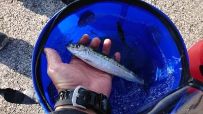 <p>一文字リアルタイム・沖の北 サビキ釣りで小サバがメインに釣れていました。少ないですが豆アジとマイワシも確認できました。</p>