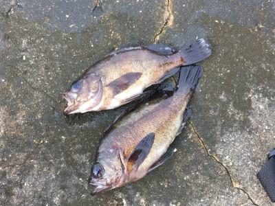 <p>沖の北 7:00最新釣果 良型メバル23cm前後</p> <p>外向きのエビ撒き釣りでは、良型のメバルが上がっています。</p>
