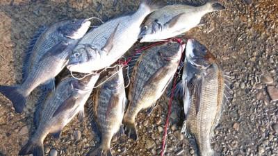 <p>フィッシングマックス岸和田店スタッフ小川様 中波止 紀州釣り チヌ~43.5cmまでを7尾GET</p> <p>フィッシングマックス岸和田店では集魚剤フェア開催中との事です!紀州釣りに興味のある方は是非お立ち寄り下さいとの事でした!(^^)!</p>