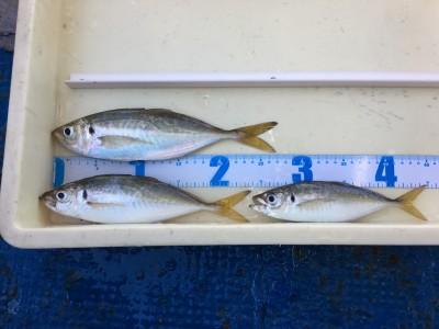 <p>山根様 沖の北 サビキ釣り アジ27cmまでを3匹</p> <p>今朝も良型のアジが釣れましたよ♪ ツバスもサビキ仕掛けにHitされたとの事です。釣果写真へのご協力、ありがとうございます。</p>