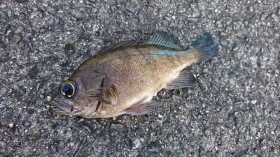<p>岸和田一文字リアルタイム 沖の北 青イソメで良型メバル釣れてました!根魚好調キープ♪</p>