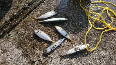 <p>岸和田一文字リアルタイム 沖の北・内向き 飛ばしサビキで豆アジ・小サバが釣れていました。入れ食いでしたよ。</p>