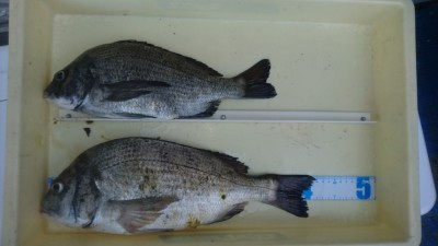 <p>安達様 旧一文字 フカセ釣り チヌ42cmを筆頭に2尾GET!</p> <p>チヌは安定の釣果ですね!おめでとうございます!!</p>