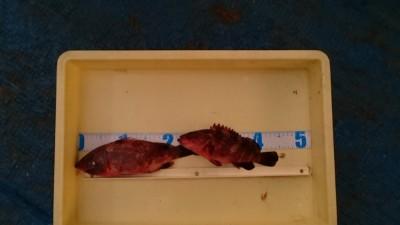 <p>吉村様 沖の北 エビ撒き釣り アコウ2尾GET</p> <p>食べごろサイズのアコウですね♪おいしそうです(^^♪おめでとうございます</p>