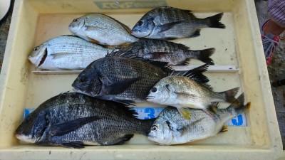 <p>内田様 旧一文字 紀州釣り チヌ~36cm/ヘダイ/キビレGET</p> <p>この辺では珍しいヘダイが釣れました(^^♪紀州釣りは最近好調ですね!おめでとうございます</p>