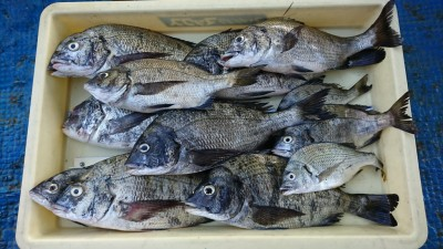 <p>阪口様 旧一文字 紀州釣り チヌ大漁♪</p> <p>旧一文字での紀州釣りが盛り上がってきました(^^♪おめでとうございます</p>