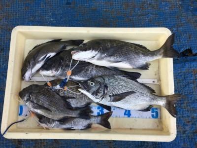 <p>植村様 旧一文字 紀州釣り チヌ41.0cmまでを10枚(リリース3枚)</p> <p>2番船でお越し頂き、長時間がんばって頂きました。実釣開始から2時間程アタリが集中したとの事です。釣果写真へのご協力、ありがとうございます。</p>
