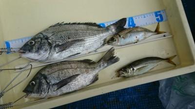 <p>前田様 沖の北 エビ撒き釣りでチヌ35cm&中アジ 他にセイゴも釣れたそうです。</p>