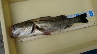 <p>徳山様 沖の北 エビ撒き釣り ハネ47cm エビ撒き釣りならハネ・チヌ・根魚いろいろ狙えておもしろいですよ♪</p>