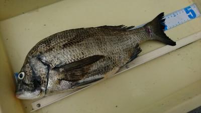 <p>北村様 沖の北 チヌ43.5cm PE0.3号アジングタックルで釣りあげたそうです。お見事!</p>