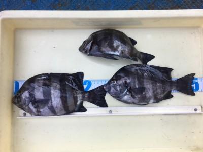 <p>片岡様 沖の北 フカセ釣り/石ゴカイ サンバソウ26.0cmまでを3枚</p> <p>シラサエビを使えば根魚を狙えますが、石ゴカイではサンバソウが狙えますよ♪ グレの気配は無かったようです。釣果写真へのご協力、ありがとうございます。</p>
