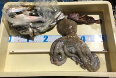 <p>今西様 沖の北 サビキ釣り/タコジグ 小アジ多数・タコ740g</p> <p>中アジを狙われたのですが、厳しい状況でしたね。タコは良型が釣れましたよ♪ 釣果写真へのご協力、ありがとうございます。</p>