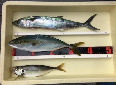 <p>山内様 沖の北 のませ釣り/ショアジギ サゴシ・ツバス・中アジ</p> <p>様々な釣り方で3目達成です! いつも釣果情報提供にご協力頂き、ありがとうございます。</p>