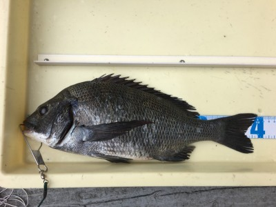 <p>林様 旧一文字 紀州釣り チヌ40cm</p> <p>小さいサイズはリリースされております。紀州釣りも好調ですよ。釣果写真へのご協力、ありがとうございます。</p>