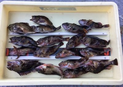 <p>大谷様 沖の南 エビ撒き釣り メバル・ガシラ多数</p> <p>根魚狙いの釣果は安定していますね。いつも釣果情報提供にご協力頂き、ありがとうございます。</p>