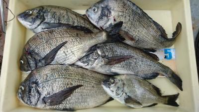 <p>梅本様 旧一文字 紀州釣り チヌ~43.5cmまで多数GET</p> <p>良型が多く釣れていますね(^^♪おめでとうございます</p>