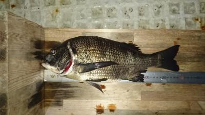 <p>コウシロウ様 旧一文字 紀州釣り チヌ40cmGET</p> <p>この所、紀州釣りが安定しています!おめでとうございます</p>