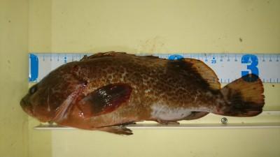 <p>中村様 沖の南 エビ撒き釣り アコウ32cmGET</p> <p>良型アコウでております(^^♪タチウオも良いですが高級魚のアコウ狙い、皆様も如何ですか!?</p>