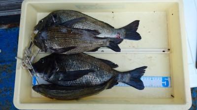<p>濱本様 沖の北 フカセ釣り チヌ~44cmまで4尾GET</p> <p>チヌも好調ですね(^^♪おめでとうございます</p>