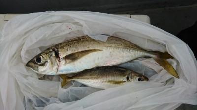<p>ハネ研 今中会長様 沖の南 エビ撒き釣りで30㎝のアジ!数は少ないながらも回遊してるみたいです。釣れたら大きいので夢がありますね。もちろん味もグッドです。</p>