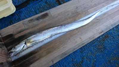<p>沖の北 ショアジギでタチウオ!朝の時合いで少ないながらも釣れてます。</p>