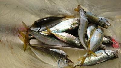 <p>藪内様 沖の北 サビキ釣りで小アジ!のませ釣りのエサにはちょうどいいサイズです。旧一文字 赤灯でも小アジ釣れていました。</p>