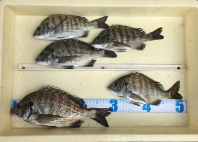 <p>内田様 中波止3番 紀州釣り チヌ30.0cmまでを5枚</p> <p>紀州釣り好調ですね♪ サシエはオキアミとコーンを使われております。釣果写真へのご協力、ありがとうございます。</p>