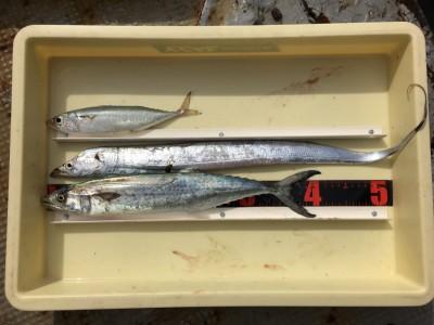 <p>桑原様 沖の北 ショアジギ/メタルバイブ サゴシ・タチウオ・中サバ</p> <p>メタルバイブで3目GETです! 釣果写真へのご協力、ありがとうございます。</p>