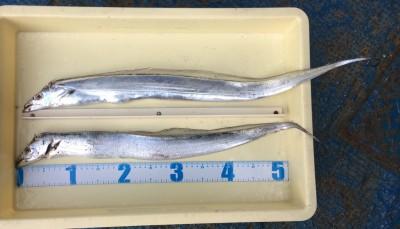 <p>小林様 沖の北 ワインド タチウオ2匹</p> <p>今朝購入されたFマックスオリジナルワインドで釣られましたよ♪ 釣果写真へのご協力、ありがとうございます。</p>