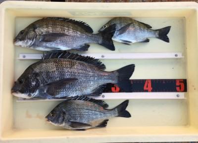 <p>和田様 沖の北 紀州釣り/オキアミ チヌ36.5cmまでを4枚</p> <p>沖の北での紀州釣りが熱いですね♪ 釣果写真へのご協力、ありがとうございます。</p>