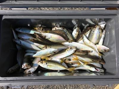 <p>久保田様 沖の北 サビキ釣り 小アジ大漁</p> <p>100匹は優に超えてますね♪ 釣果写真へのご協力、ありがとうございます。</p>