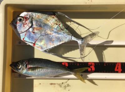 <p>三谷様 旧一文字(赤灯) エビ撒き釣り イトヒキアジ・大アジ</p> <p>珍しい魚が釣れましたよ♪ アジも良型です。いつも釣果情報提供にご協力頂き、ありがとうございます。</p>