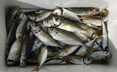 <p>加藤様 沖の北 サビキ釣り 小アジ大漁</p> <p>20cmくらいのサイズも混じってますよ。他に中サバも多数釣られております。</p>