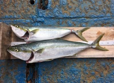 <p>神澤様 沖の北 ブリ81cm・メジロ66cm</p> <p>9時便でお預かりしました釣果です。</p> <p>引き続き頑張っておられますよ♪</p>