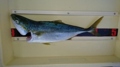 <p>杉本様 旧一文字 のませ釣り ハマチGET</p> <p>旧一文字でも青物釣果ありです(^^♪</p>