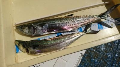 <p>タッキー様 沖の北 ショアジギでサゴシ!タチウオも少し釣れたそうです。</p>