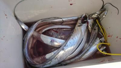 <p>7時便で戻られた方に釣果情報をいただきました。沖の北 ルアーでタチウオ10匹くらい。今日も明るくなってからがよかったようです。旧一文字でも釣れていましたよ。</p>
