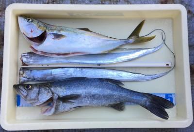 <p>梨田様 旧一文字 のませ釣り ハネ・ハマチ・タチウオ</p> <p>ここ最近青物が厳しい状況でしたが、見事に釣られております。ハネもグッドサイズですよ♪</p>