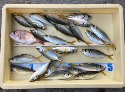 <p>長谷田様 旧一文字(赤灯) サビキ釣り 小アジ・チャリコ</p> <p>小アジのサイズも15cm以上になり良くなっていますよ。いつも釣果情報提供にご協力頂き、ありがとうございます。</p>