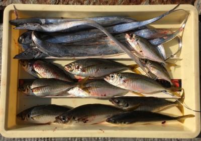 <p>川原様 旧一文字 エビ撒き釣り 尺アジ大漁!</p> <p>遂に尺アジ爆釣しましたよ♪ いつも釣果情報提供にご協力頂き、ありがとうございます。</p>