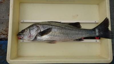 <p>広石様 沖の北 のませ釣り ハネGET</p> <p>最近のハネは脂がすごくのってますよ(^^♪おめでとうございます!</p>