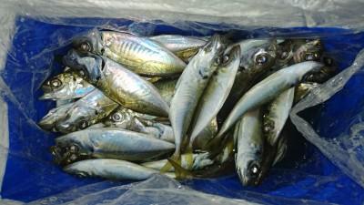<p>津田様 沖の北 サビキ アジ大漁</p> <p>短時間でこれだけ釣られていました(^^♪おめでとうございます!</p>